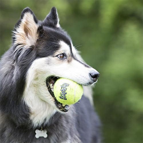 Miljøbilde av hund som leker med KONG tennisball