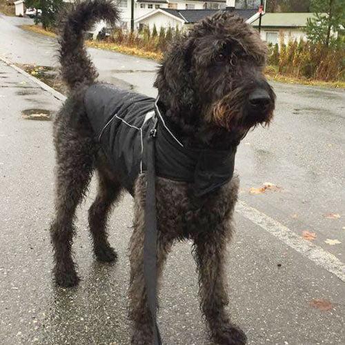 Miljøfoto av hund med sort regndekken